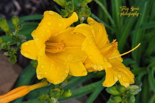 daylilies waterdrops 900 007