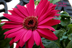gerbera daisy red 900