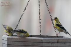 goldfinches on platform feeder 3 900 208