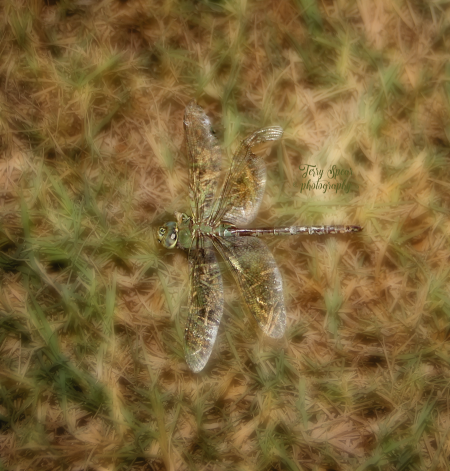Green dragonfly sleeping 900