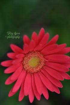 sweet-sixteen-gerbera-daisy1-realistic-oil-900_9022