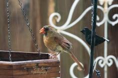 cardinal in rain 900 024