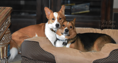 corgi love Rilo and Luna 900
