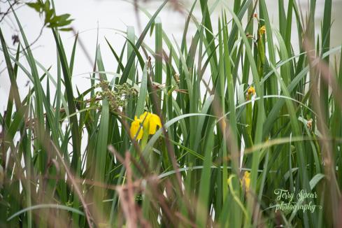 fog and wild irises 900 026