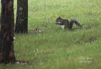 fog squirrel 900 062