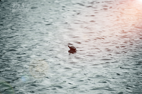 baby turtle in the middle of the pond on a windy day at sunset 900 014