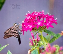 butterfly brown long tailed skipper 900 029