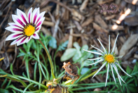 flowers, tiger mix gazania, 900 006