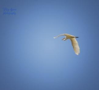 great white heron drama 900 305