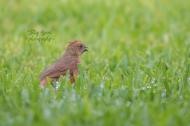juvenile cardinal 900 069