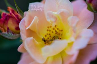 peach rose 900 014