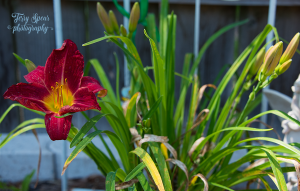 red daylily 900 003