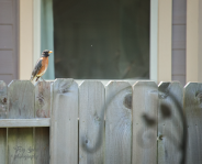 robin bird on fence, rust breast, black wings 900 046