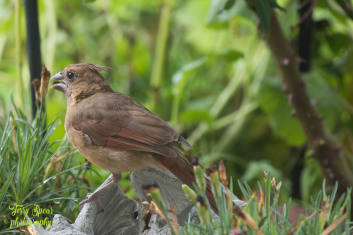 baby female cardinal 900 026