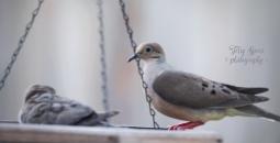 juvenile doves 900 085