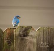 male bluebird 900 007