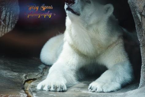 polar bear head raised (640x427)