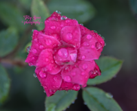 red rose water droplets 900 013