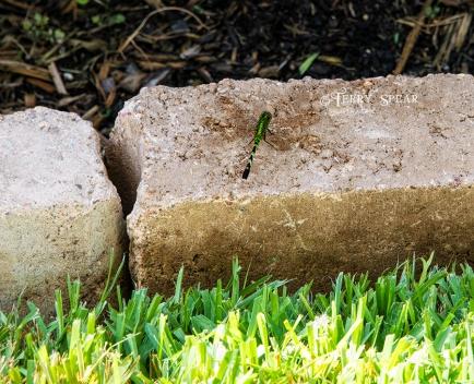 green dragonfly 900 036