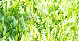 green dragonfly hiding in grass 900 017