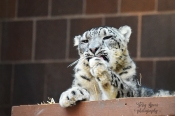 snow leopard 900 979