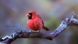 cardinal on tree branch closeup1 900 384
