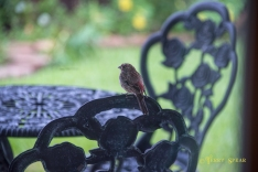 Hurricane Harvey storms male house finch on chair 900 014