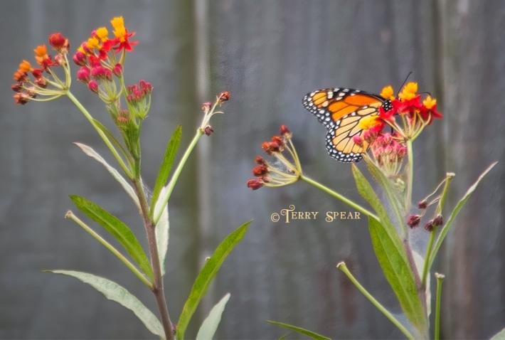 monarch butterfly on milkweed 900 009