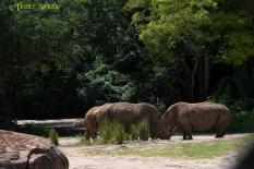 Orlando Disney 900 rhinos RWA 2017 2850