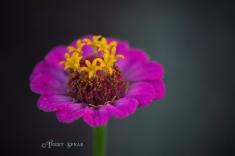 pink zinnia macro 900 010