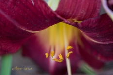 red daylily 900 018