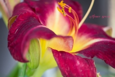 red daylily 900 024