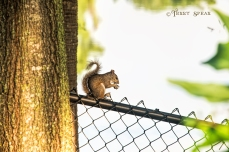 squirrel on fence 900 Orlando Disney RWA 2017 3352