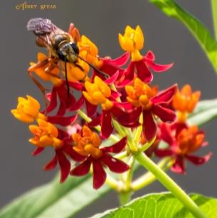 wasp milkweed 865 081