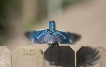 blue jay in flight 900 024