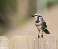 blue jay with seed on fence 900 018