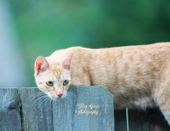 tabby cat eyeing house finches 900 015