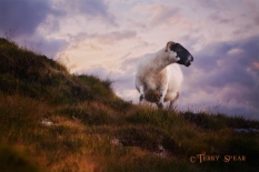 black-faced sheep 900 Scotland Sept 2015, 7622