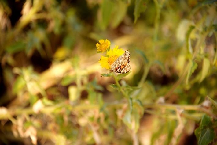 butterfly on yellow flower DSC_5812 (800x534) (2)