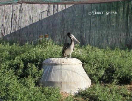 Cameron Park Zoo Pelican on stone in grassy area 900 054