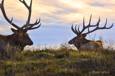 Elk resting 900 Thanksgiving Omaha 031