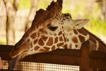giraffe and long tongue 6000 DSC_6495 (800x534)
