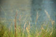 grasses, lake Woodlands 900 DSC_4451