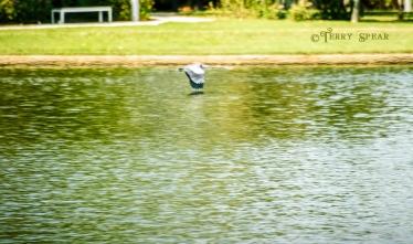 great blue heron 900 DSC_4434