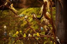 parakeets DSC_8262 (800x534)