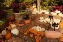 pumpkins 6000 DSC_6151 (800x534)