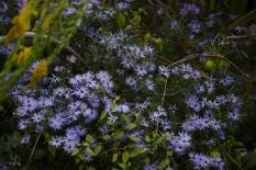 Purple wildflowers 6000 DSC_5925 (800x534)