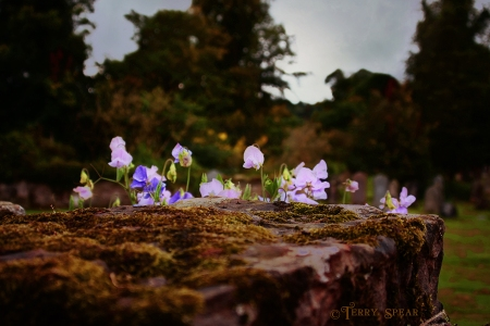 Scotland Sept 2015, cemetery, flowers, moss, stone wall1 after clouds darker 900 2502