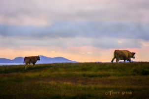 Scotland Sept 2015, Momma and Calf 900 7908