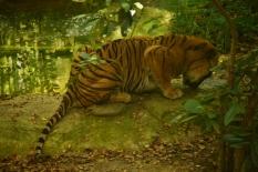 tiger DSC_6702 (800x534) (2)